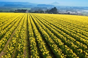 Winchester Growers – supporters of Marie Curie's Great Daffodil Appeal